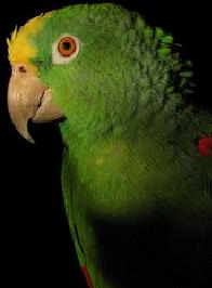Amazon_parrot