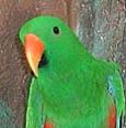 Eclectus exotic bird image