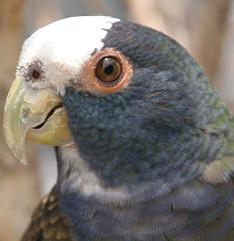 Pionus exotic bird image