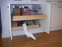 umbrella-cockatoo-foraging-in-kitchen