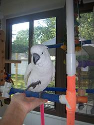 umbrella cockatoo training image