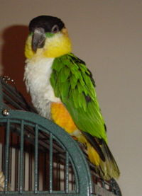 Black Headed Caique image