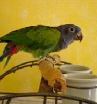 Blue Headed Pionus image