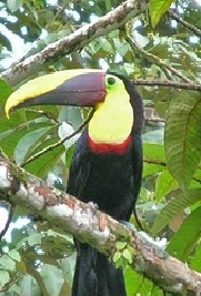 Chestnut-mandibled Toucan image