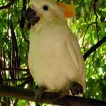 Citron Crested Cockatoo image