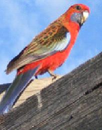 Crimson Rosella 2 image