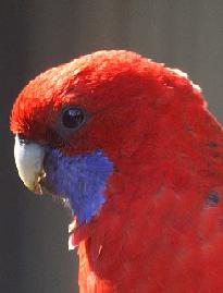 Crimson Rosella image