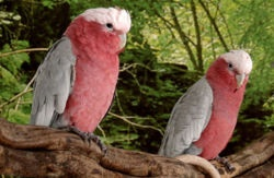 Galah Rose Breasted Cockatoo image