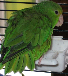 Green Rumped Parrotlet image