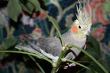 Grey Cockatiel