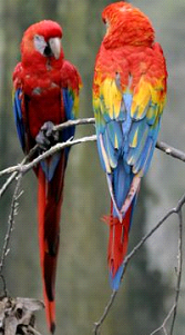 Scarlet Macaw image