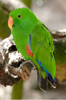 Male Eclectus image
