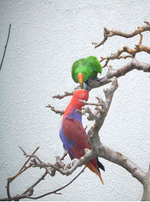 Male Female Eclectus image