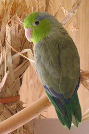 Pacific Parrotlet 2 image
