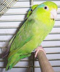 Pacific Parrotlet image