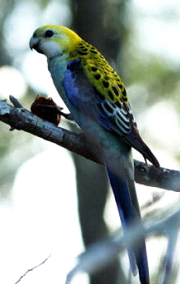 Pale-headed Rosella image