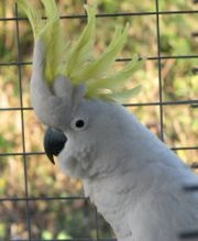 Sulphur-Crested-Cockatoo-Parrot image