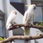 Sulphur Crested Cockatoo image