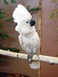 Umbrella Cockatoo image