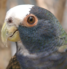 White Crowned Pionus image