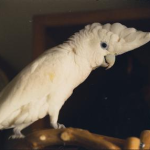 Ducorps Cockatoo image