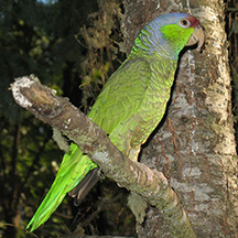 Lilac Crown Parrot Image