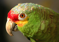 red-lored