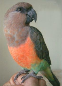 Red Belly Parrot