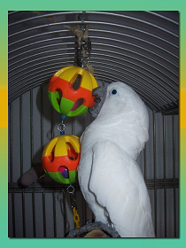 Cockatoo Foraging In Toy