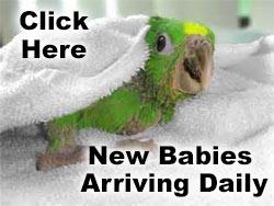 baby parrots link